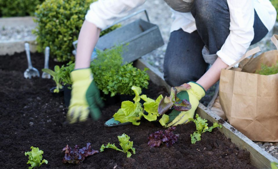 Mature woman planting seedlings in garden