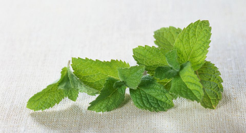 Mentha suaveolens (Apple mint), fresh leaves