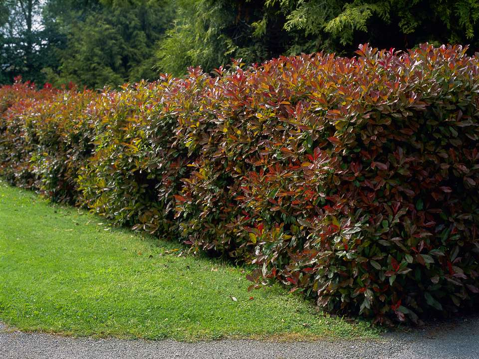 Pruned hedge christmas berry (Photinia x fraseri) 'Red Robin'