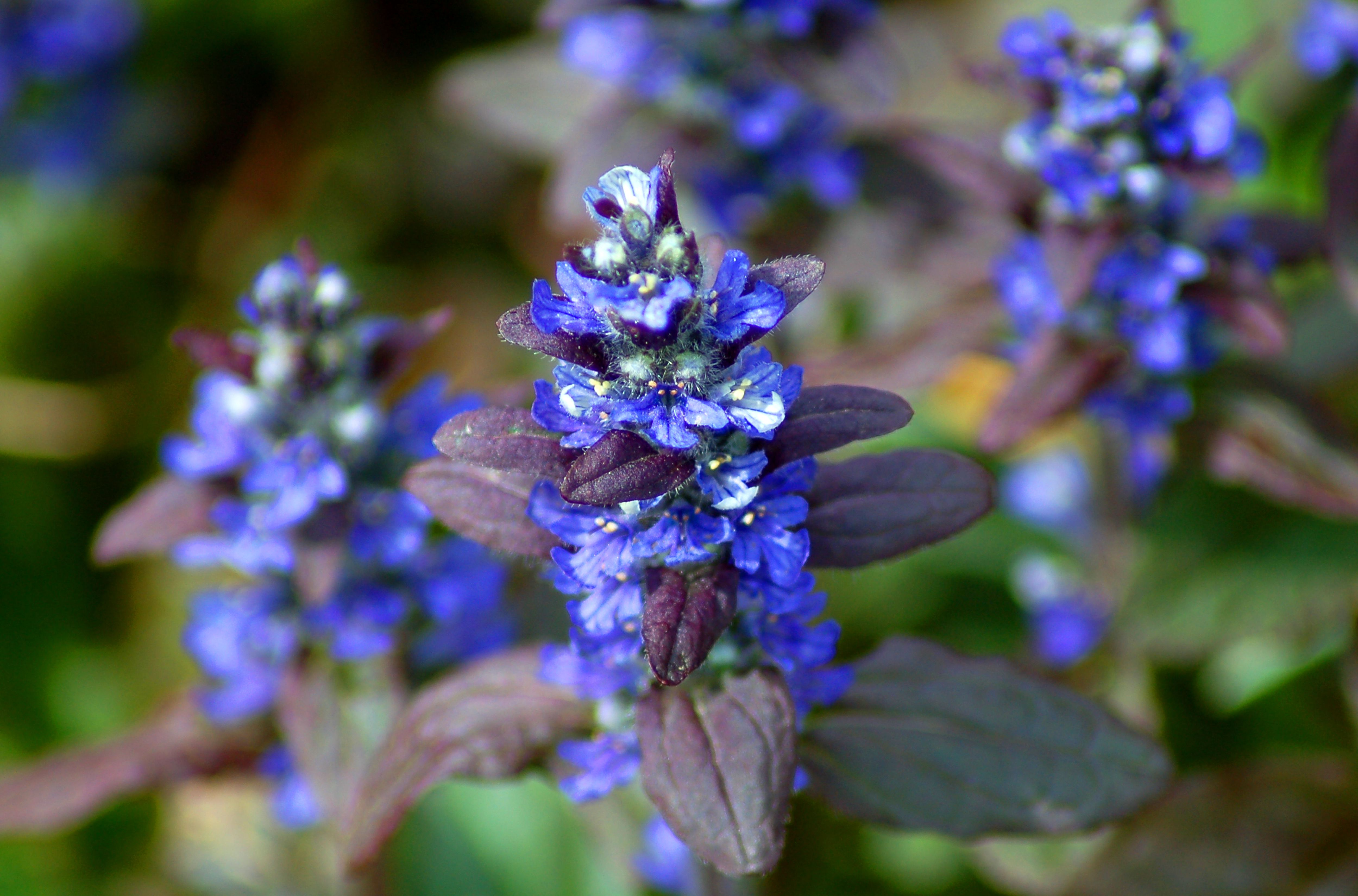 Sounding a Clarion Call on the Problem With Bugleweed