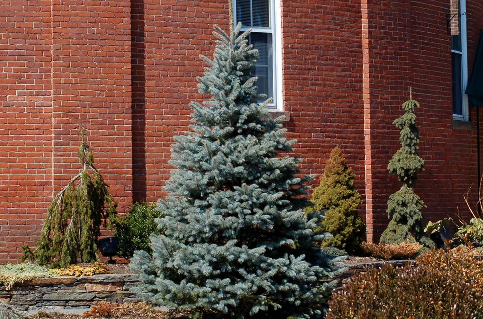 Image of Colorado blue spruce tree.