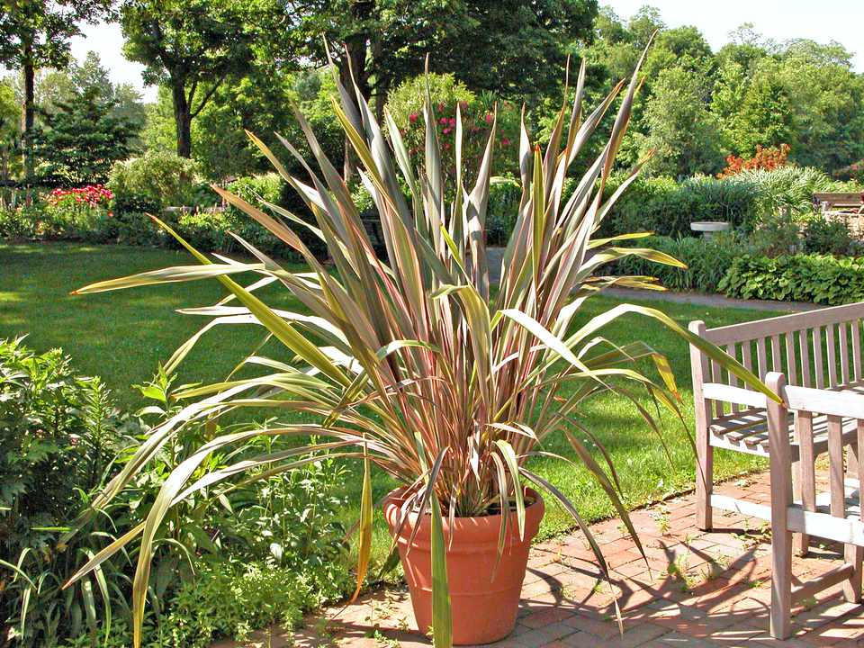 Ornamental grasses to grow in containers new zealand flax phormium tenax and hybrids marie iannotti as ornamental grasses become garden workwithnaturefo