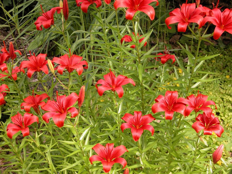 Growing Lilies (Asiatic Lily)