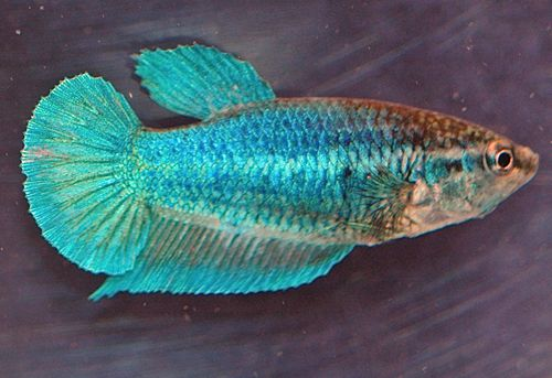 A full rainbow of female betta fish pictures and facts hmpk turquoise female sciox Image collections