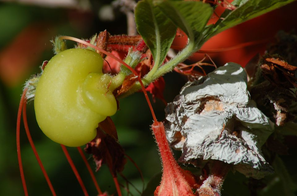 Picture of azalea leaf gall. As the photo indicates, azalea leaf gall is associated with a fungus.