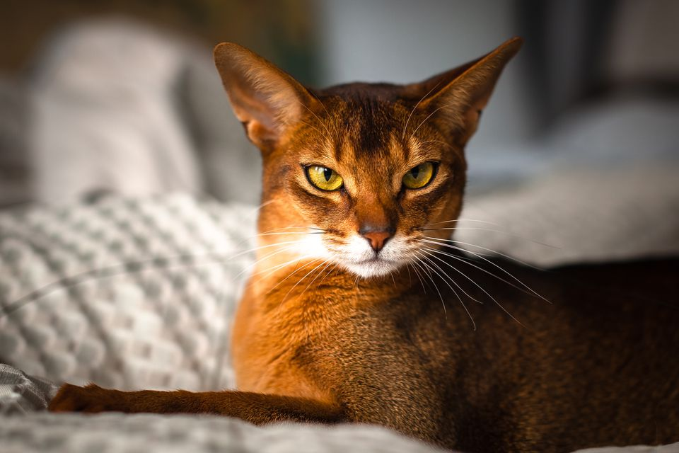Abyssinian cat on a white blanket