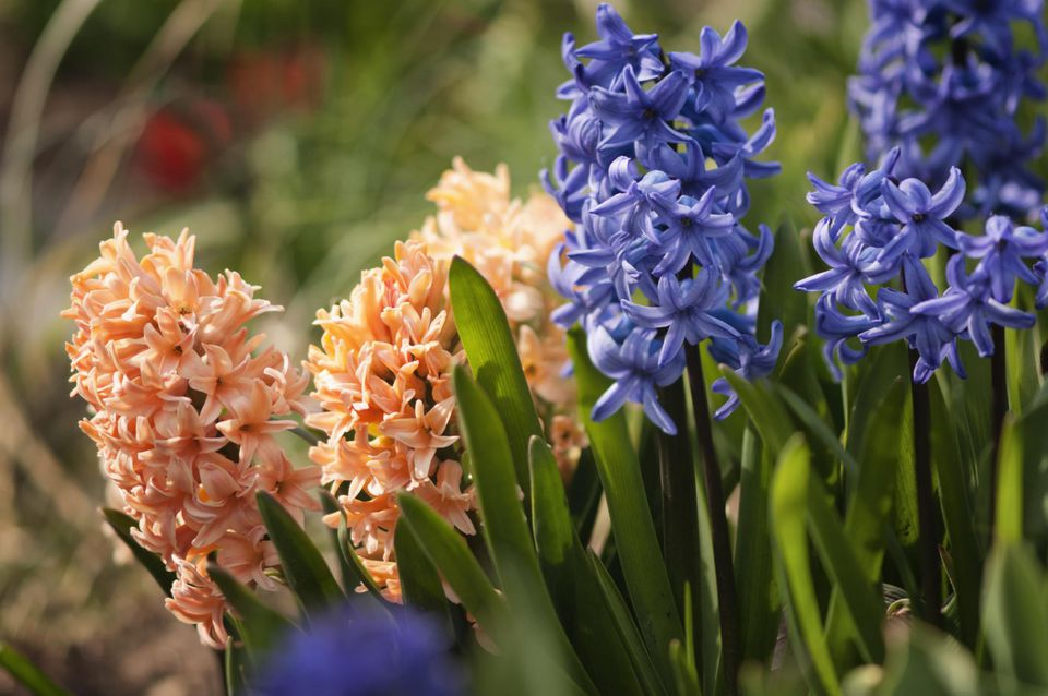 Orange and Blue Hyacinth Blossoms