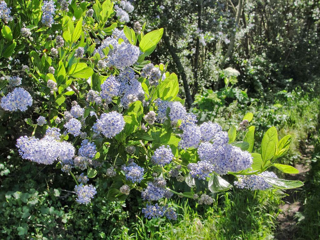 Ceanothus Thyrsiflorus Growing Profile