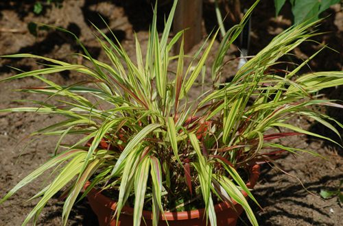 Photo of golden Japanese forest grass. This ornamental grass grows in shade.