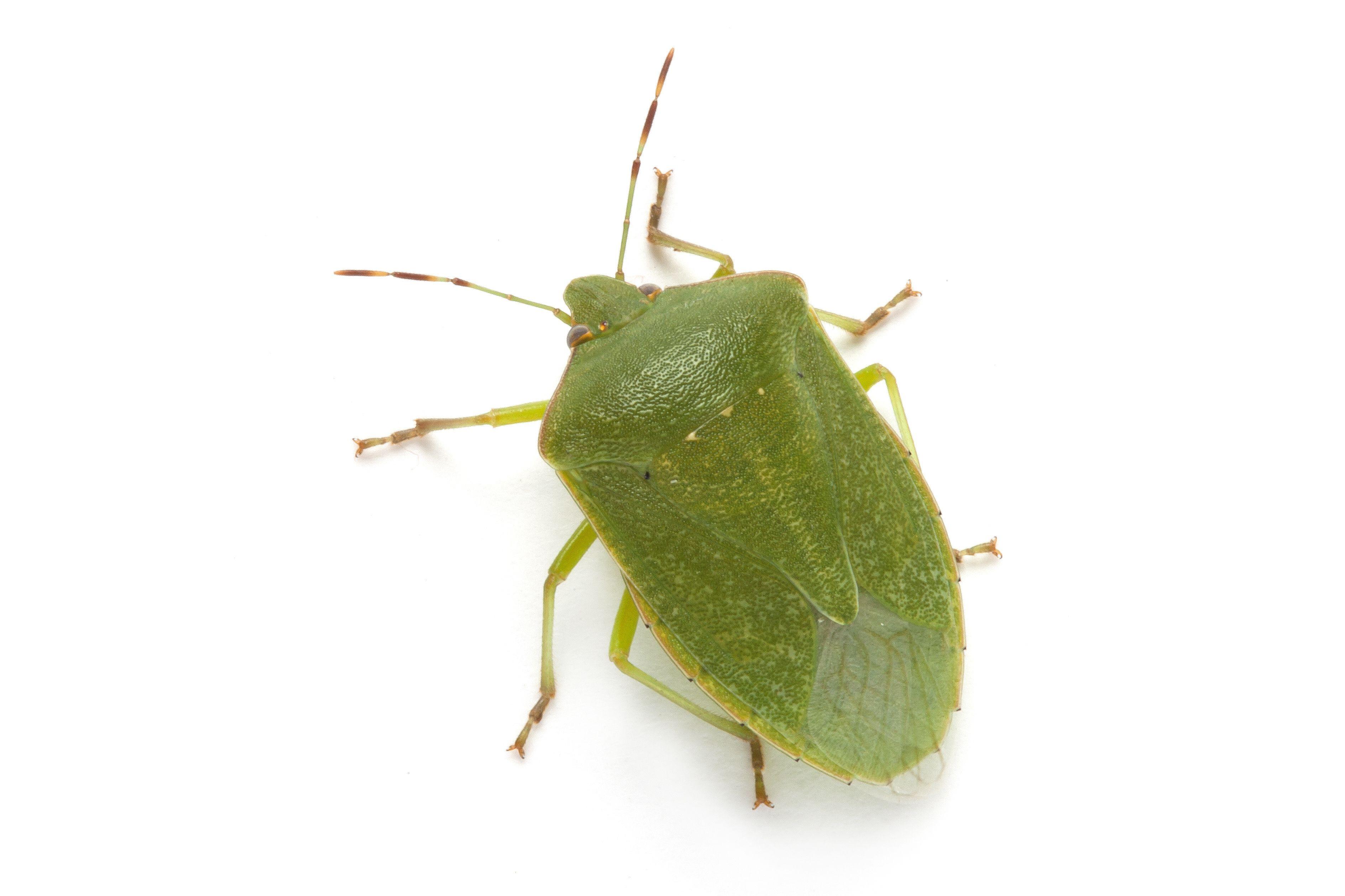 Tiny Plants Stink Bugs Family Pentatomidae