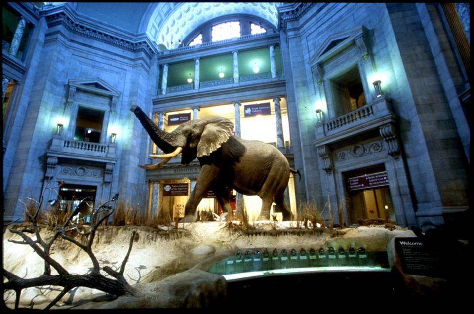 Natural history elephant exhibit