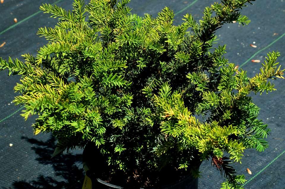 Taunton yew shrub.
