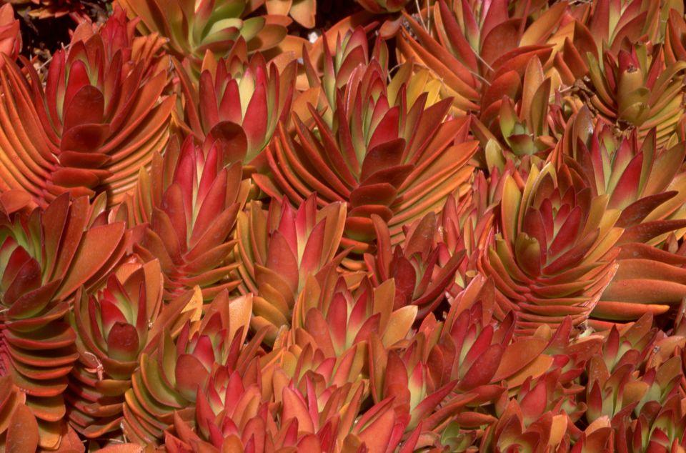 crassula succulent