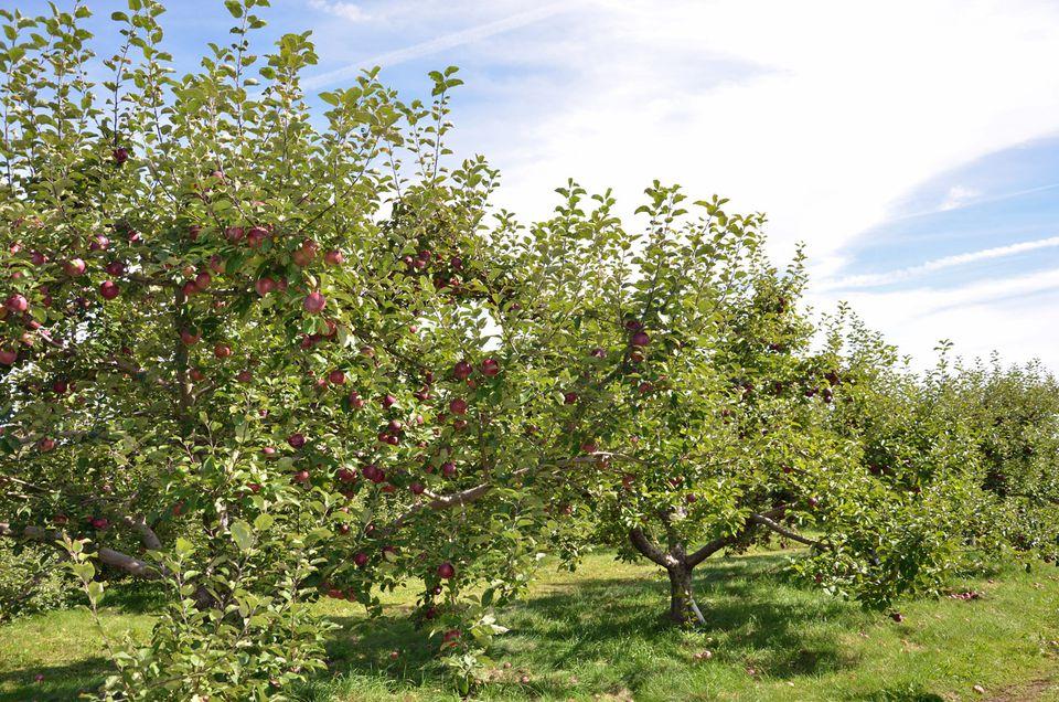 Massachusetts Apple Orchard