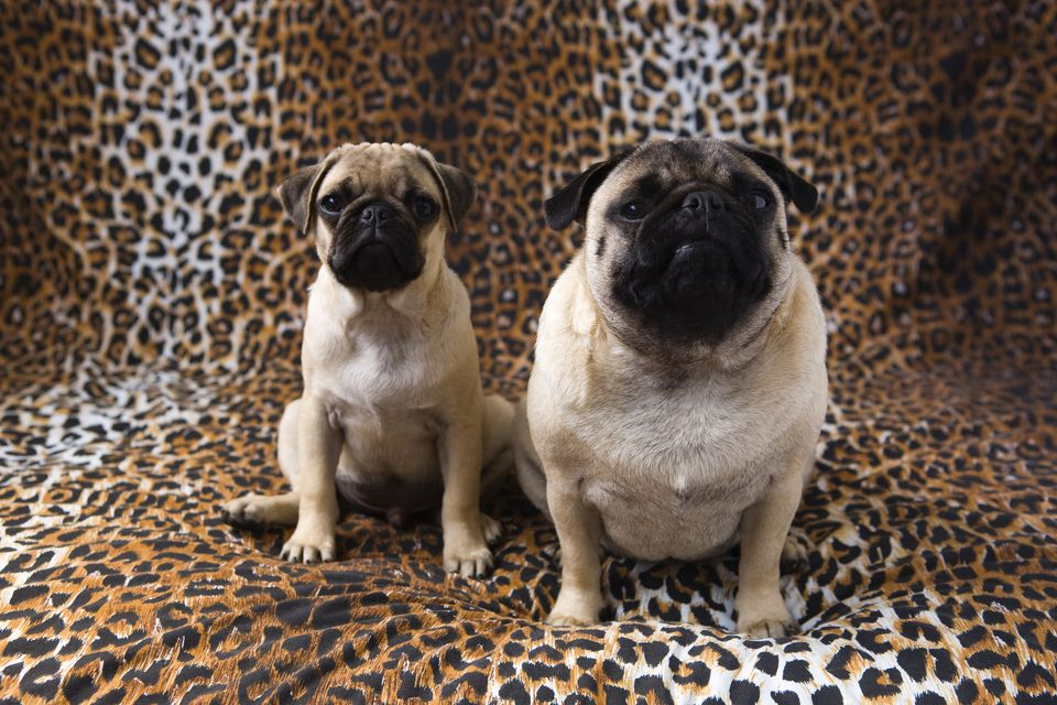 A skinny pug next to a fat pug