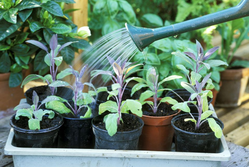 Watering: watering in of salvia officinalis - rooted sage cuttings. late summer