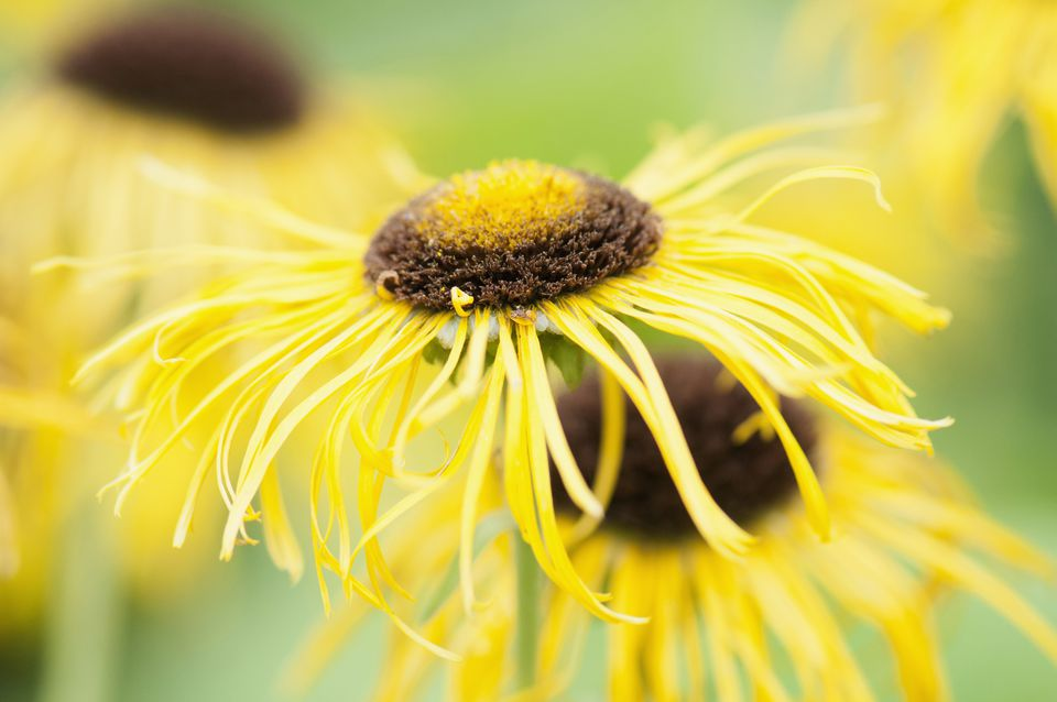 Elecampane, Inula helenium, Yellow subject.