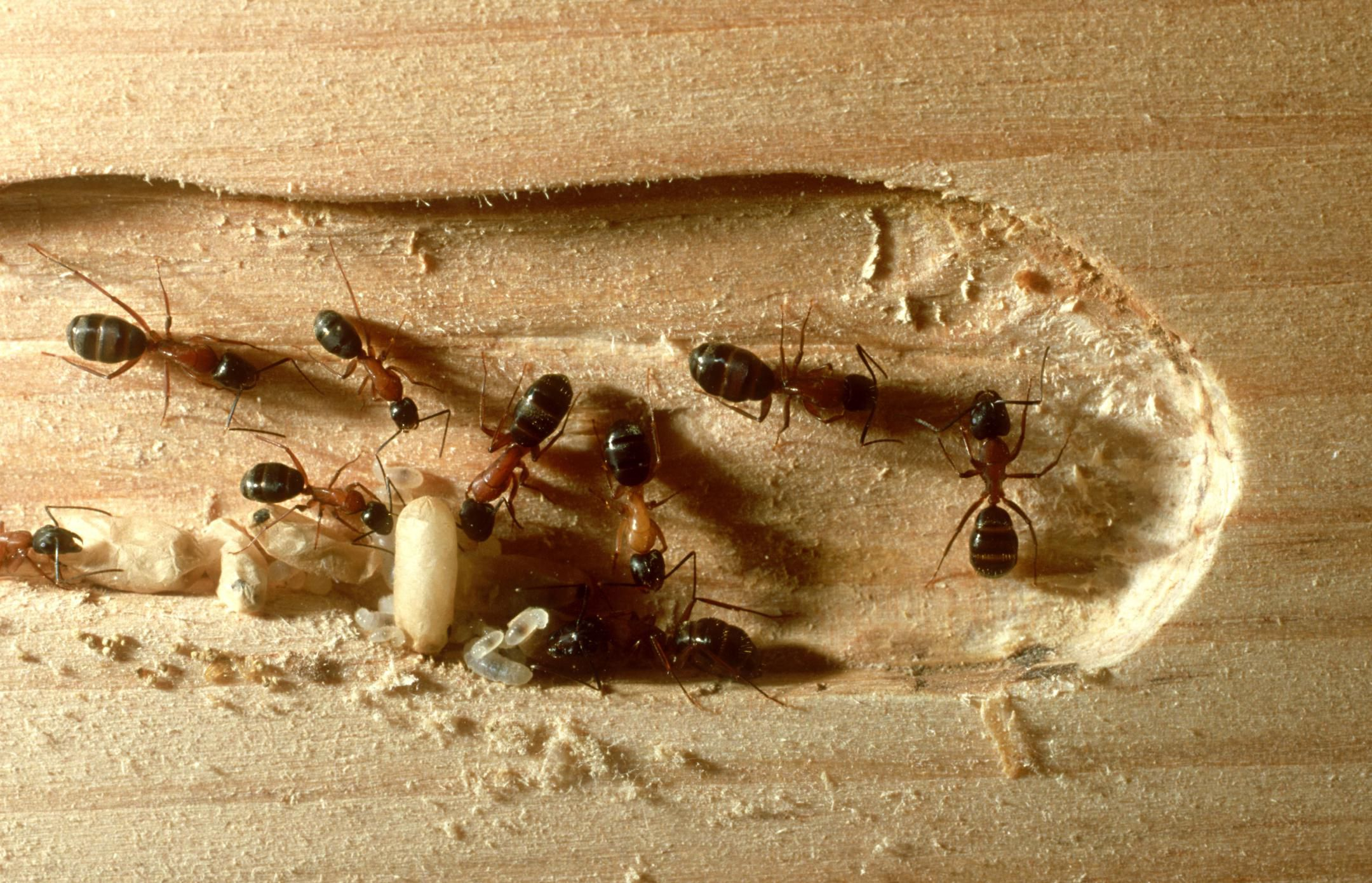 How to Control the Wood Destroying Carpenter Ant  Pest Control Basics. What to Do About Flying Ants in Your Home