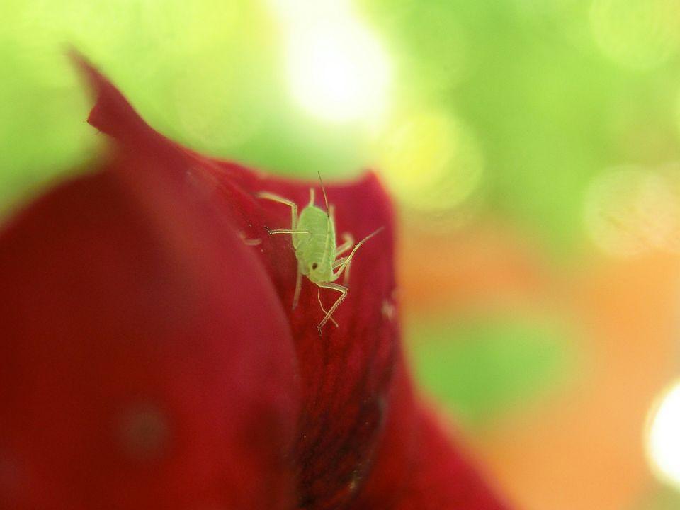 aphid on flower petal