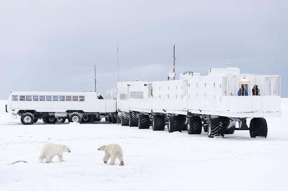 olar Bears approaching Tundra Buggy Lodge