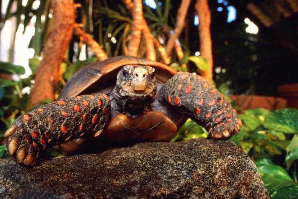 Red foot tortoise (Chelonoidis carbonaria), close-up