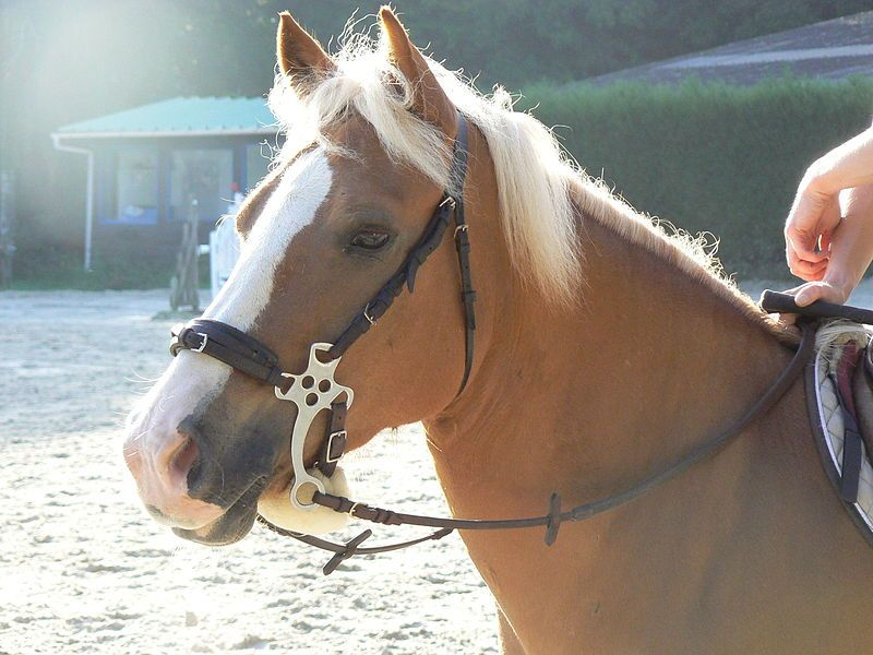 A pony wearing a hackamore.