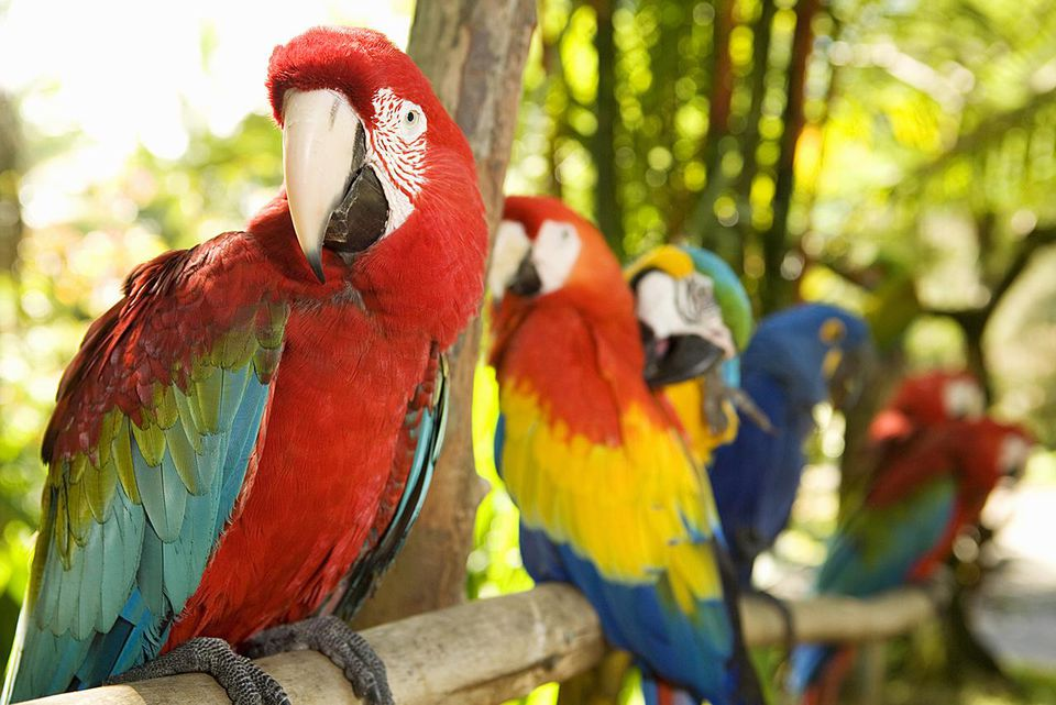 Macaws perched on branch in jungle