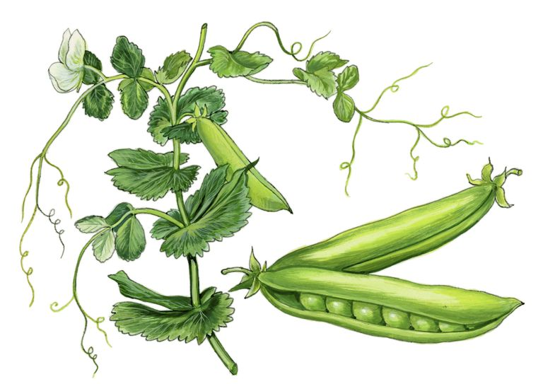 Pea (Pisum satifum) by Giglioli E., 0th Century Ink and Watercolor on Paper