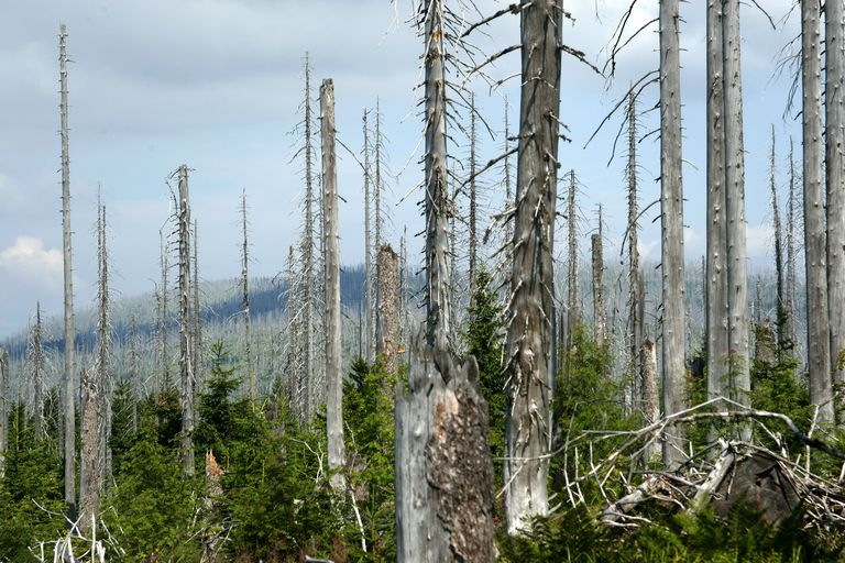 Trees killed by acid rain