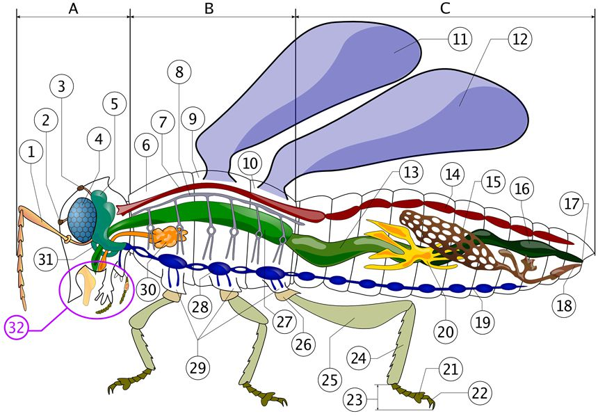 The 12 animal organ systems color diagrams of insect organs and internal structures ccuart Choice Image