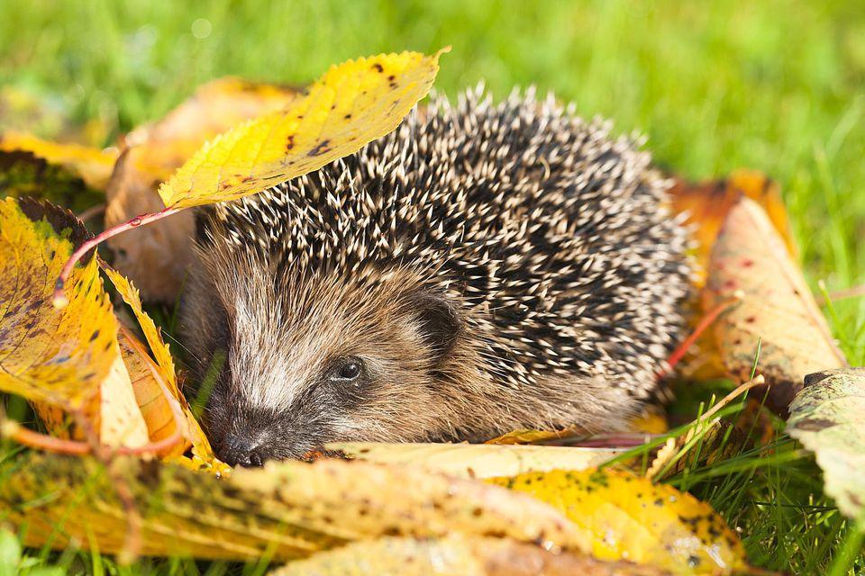 Young Hedgehog (Erinaceus europaeus), autumn