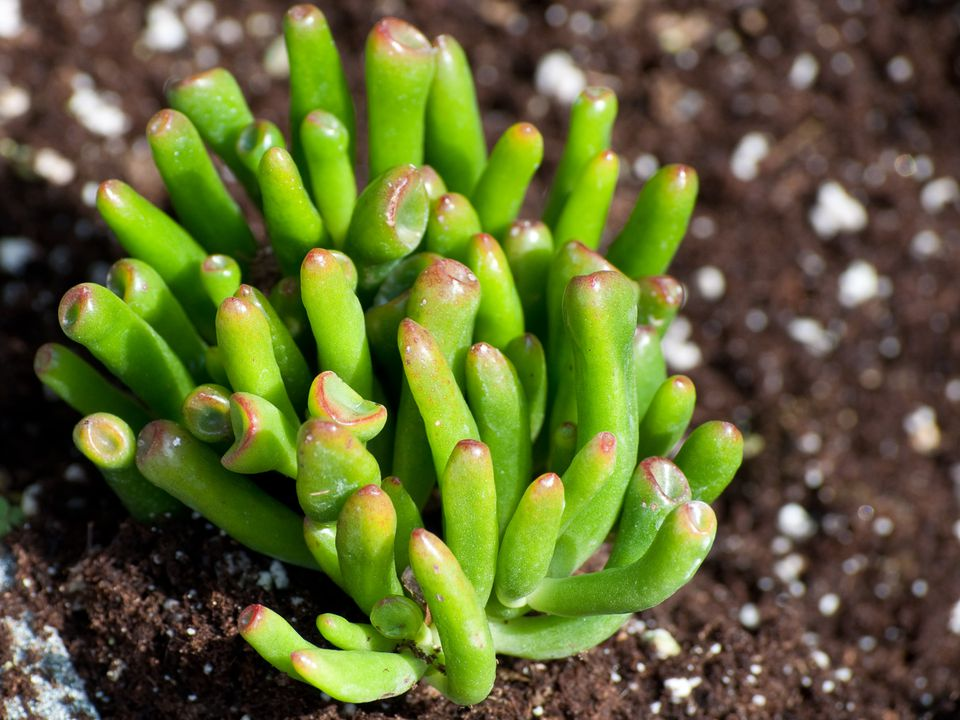 Growing Crassula ovata 'Gollum'