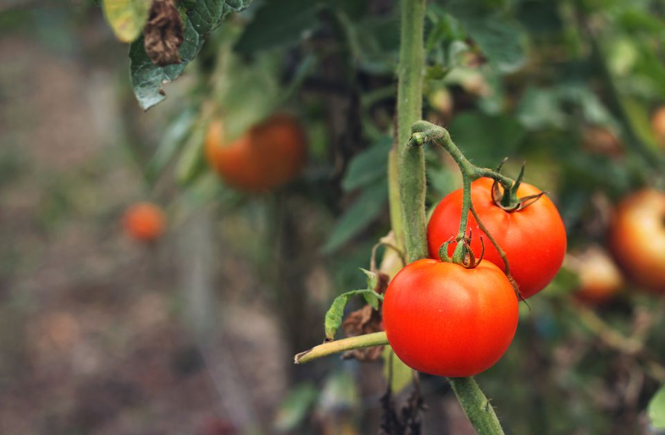 Close up of beautiful tomatoes ready to be harvested