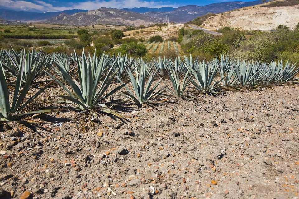Maguey Plants growing in a field, Matatlan, Oaxaca State, Mexico