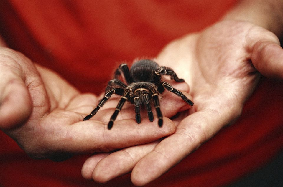 Man holding pet Tarantula, focus on hands