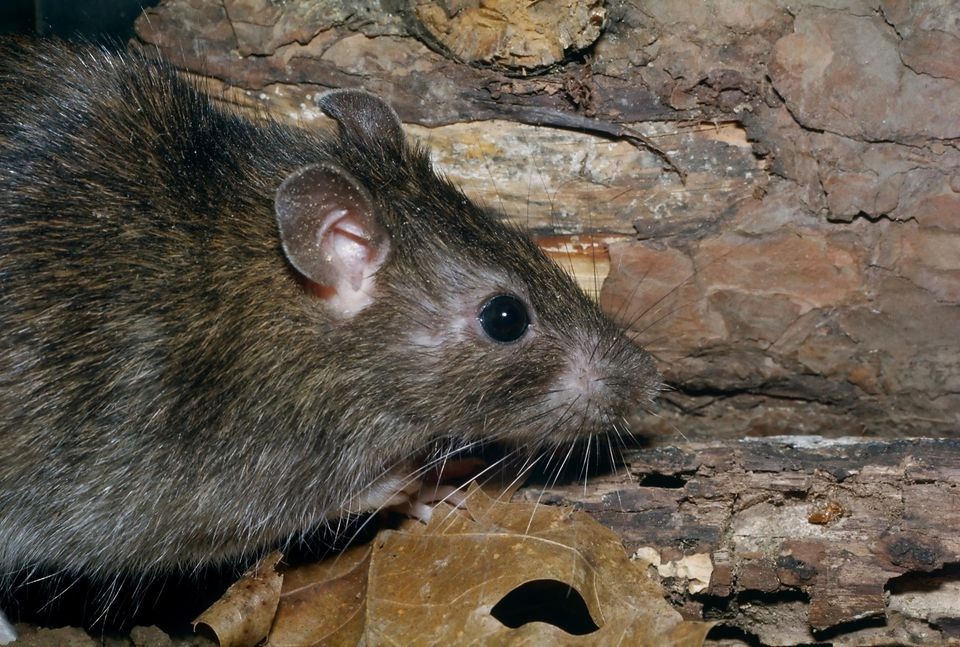 NORWAY RAT (RATTUS NORVEGIUS)