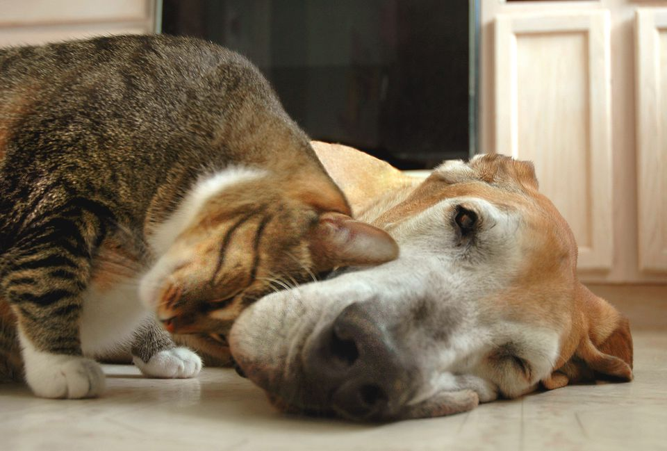 Tabby cat and great dane