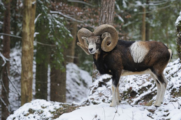 European Mouflon (Ovis orientalis musimon), male, in a snowy winter landscape