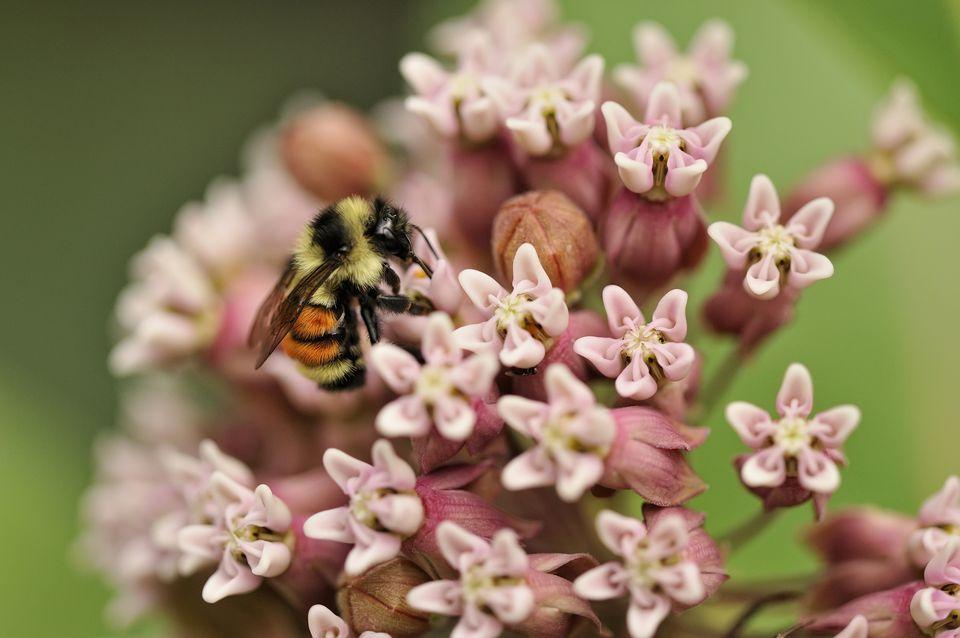 Bumblebee, Bombus sp., nectaring on common milkweed