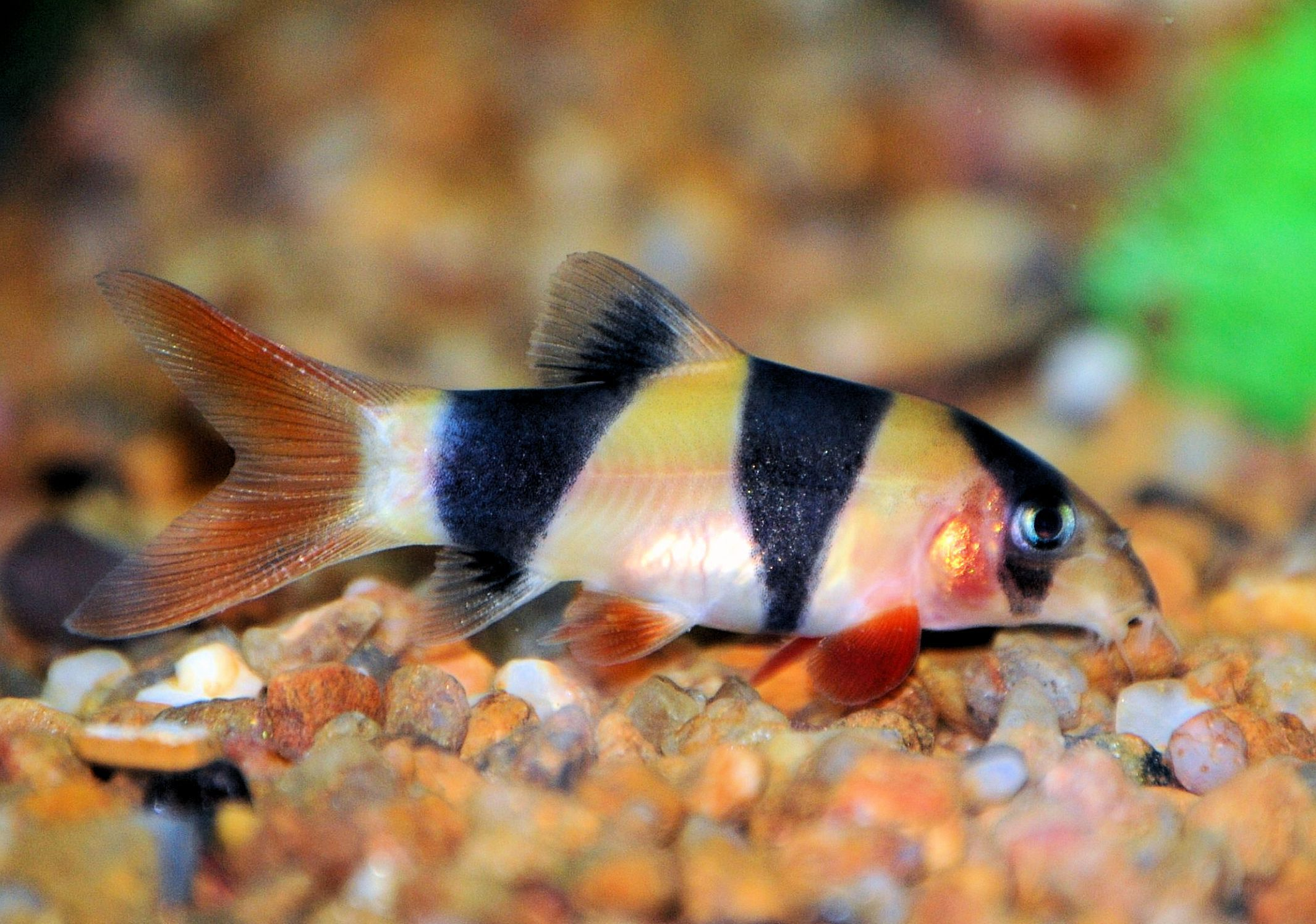 Clown loach is an active freshwater fish for Freshwater fish to eat