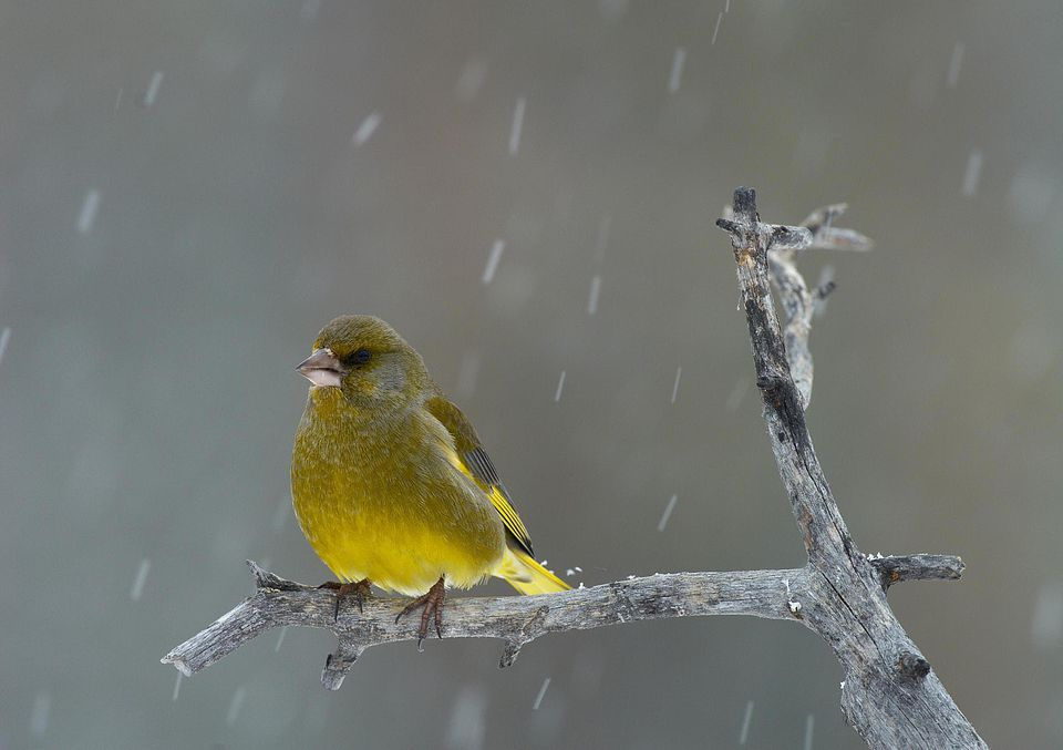 Greenfinch (Carduelis chloris) on a branch