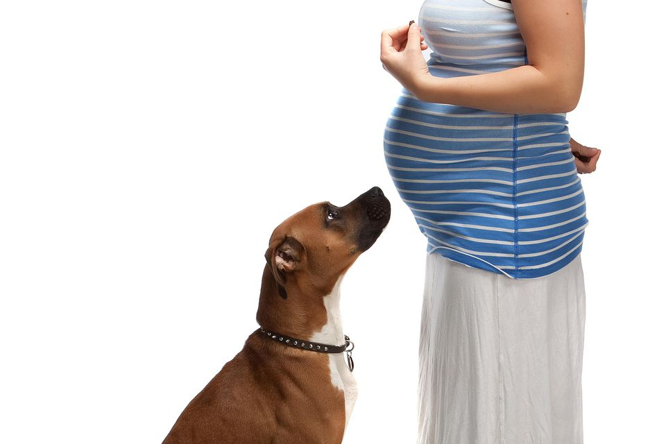 boxer dog with pregnant woman