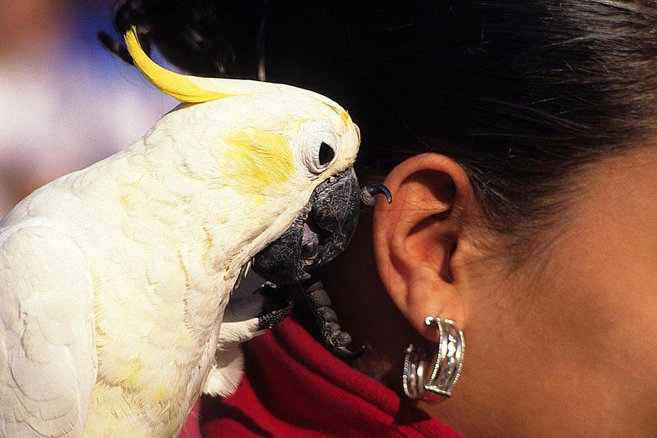 Bird (White Parrot) talking into a woman's ear.