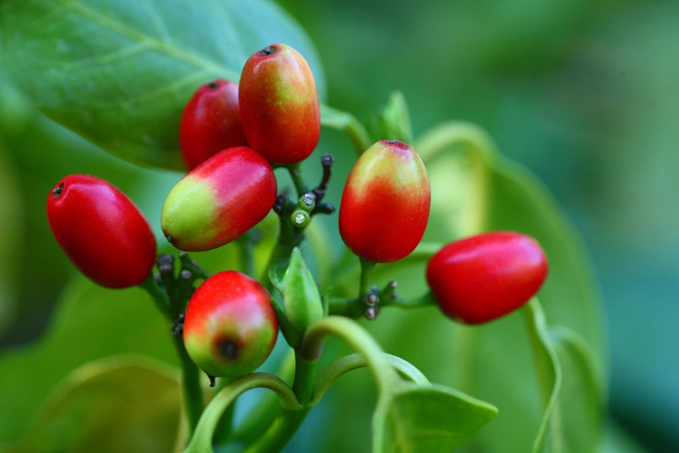 Japanese aucuba fruit