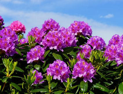 Dwarf flowering almond bush has giant impact in spring whats the difference between rhododendrons and azaleas mightylinksfo Images