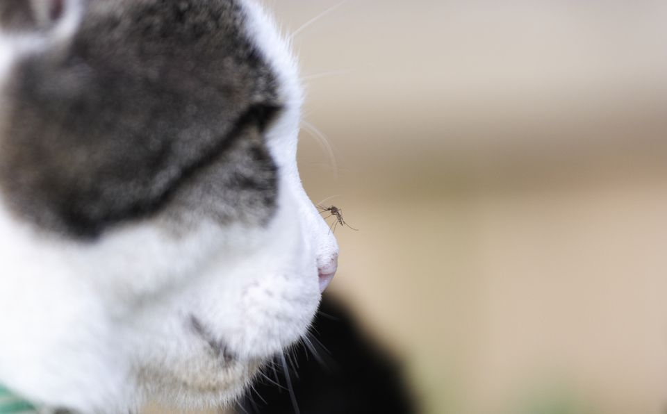 Mosquito on Cats nose