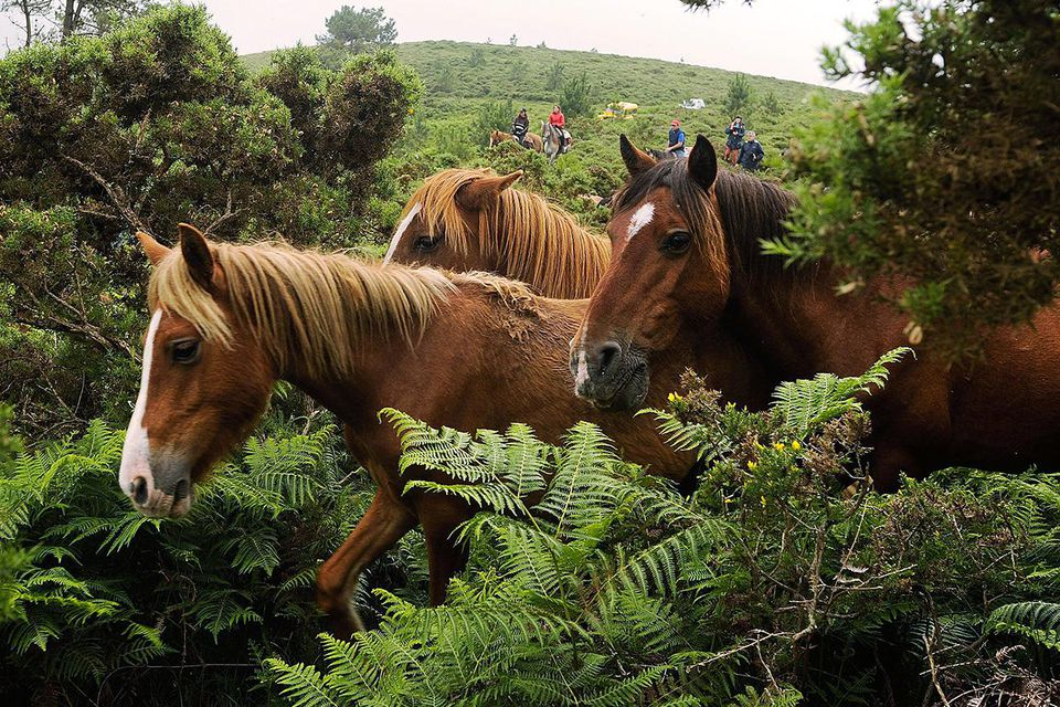 SABUCEDO, SPAIN - JULY 06: Wild horses are rounded up in the hills on the eve of the rapa das bestas, or the 'shearing of the beasts,' festival on July 6, 2012 in Sabucedo, Spain.
