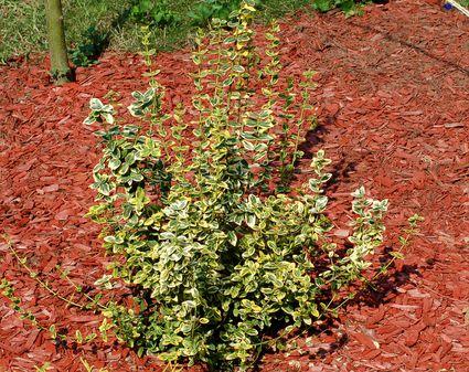Small Evergreen Shrub Varieties