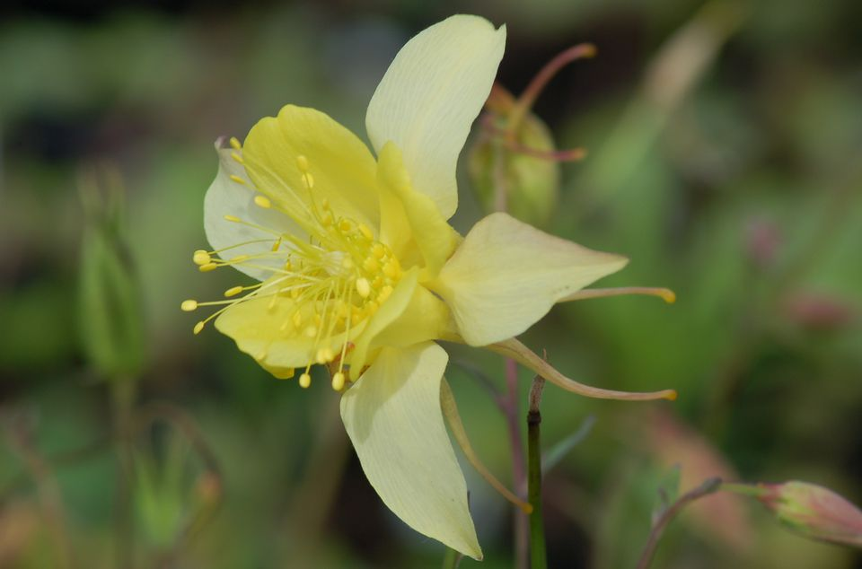 Image of yellow columbine flower.