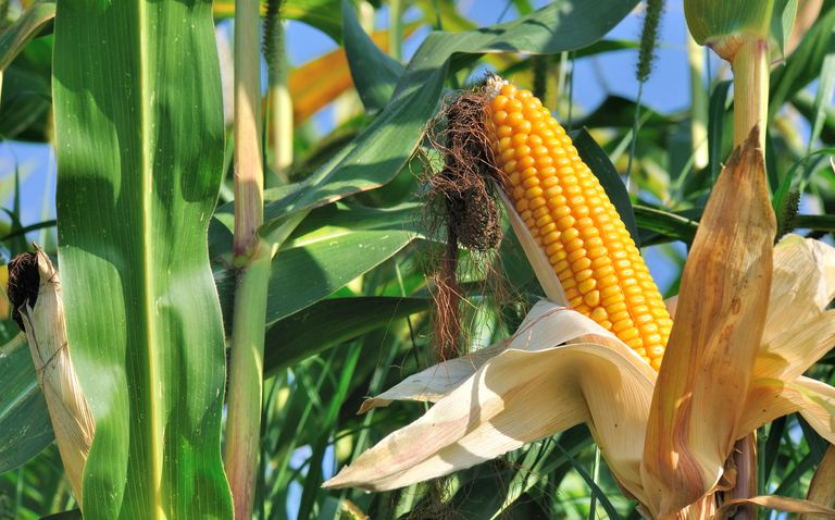 Beautiful ear of corn ripe